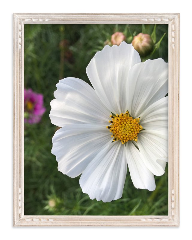 """""""White Cosmos"""" - Art Print by Misty Hughes in beautiful frame options and a variety of sizes."""