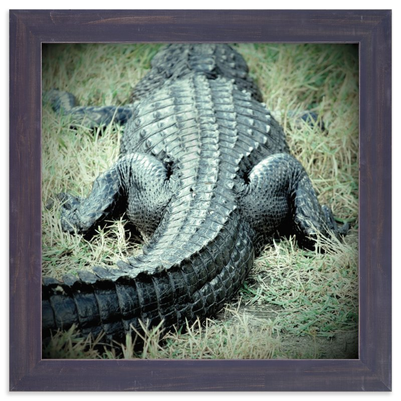 """""""Basking Florida Gator"""" - Art Print by Kate Ross in beautiful frame options and a variety of sizes."""