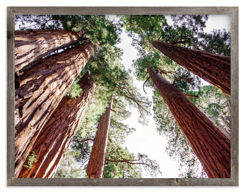 """""""Soaring Sequoias"""" - Art Print by Matthew Sampson in beautiful frame options and a variety of sizes."""